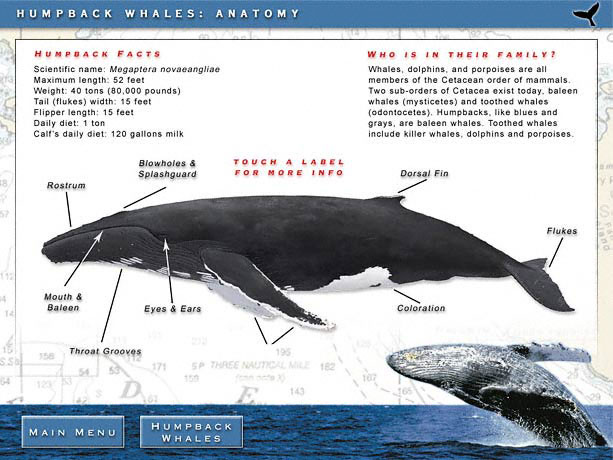 the main features of the hump back whale Metric features with which north atlantic humpback whales are associated off puerto rico's west coast are the same areas used for recreational and commercial purposes.